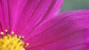Cierre púrpura de la flor del cono para arriba Imagen de archivo libre de regalías