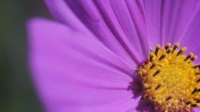 Cierre púrpura de la flor del cono para arriba Fotografía de archivo libre de regalías