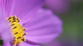 Cierre púrpura de la flor del cono para arriba Foto de archivo libre de regalías