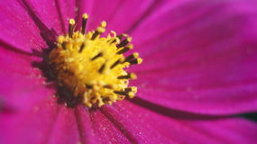 Cierre púrpura de la flor del cono para arriba Fotografía de archivo