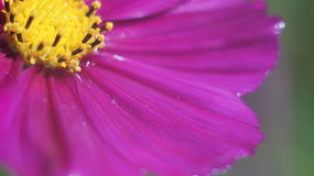Cierre púrpura de la flor del cono para arriba Imagenes de archivo