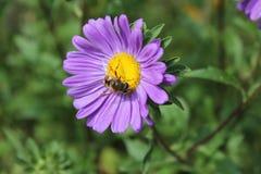 Cierre púrpura de la flor para arriba con la abeja en ella Imagen de archivo libre de regalías