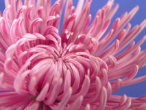 Cierre púrpura de la margarita para arriba Imagen de archivo libre de regalías