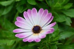 Cierre púrpura de la margarita para arriba Imágenes de archivo libres de regalías