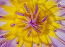 Cierre púrpura del loto del chisme para arriba Fotos de archivo libres de regalías
