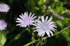 Cierre púrpura hermoso de las flores blancas encima de la flor salvaje floreciente de la flor fotografía de archivo