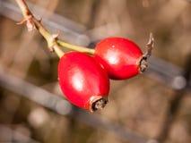 Cierre para arriba de dos escaramujos maduros rojos afuera el caída del arbusto Imagen de archivo libre de regalías