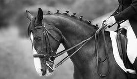 Cierre para arriba de la cabeza un caballo de la doma de la bahía, blanco negro Imágenes de archivo libres de regalías