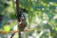 cierre para arriba de la mosca del dragón que disfruta de su comida Foto de archivo libre de regalías