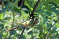 cierre para arriba de la mosca del dragón que disfruta de su comida Foto de archivo