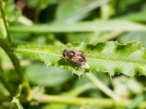 Cierre para arriba de la mosca de la libración en la hoja Syrphidae Fotos de archivo libres de regalías