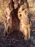 cierre para arriba de la textura de la corteza del tronco de árbol de hueco del corte Imágenes de archivo libres de regalías