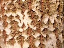 cierre para arriba de la textura partida de la corteza del tronco de árbol del álamo temblón Imágenes de archivo libres de regalías
