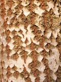 cierre para arriba de la textura partida de la corteza del tronco de árbol del álamo temblón Fotos de archivo libres de regalías