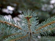 Cierre para arriba de las ramitas spruce verdes frescas en fondo borroso con el teñido frío para los temas de la Navidad y del Añ fotos de archivo libres de regalías