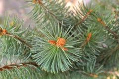 Cierre para arriba de las ramitas spruce verdes frescas en un fondo borroso con el teñido caliente para los temas de la Navidad y fotografía de archivo libre de regalías