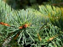 Cierre para arriba de las ramitas spruce verdes frescas en un fondo borroso con la luz del sol caliente para los temas de la Navi foto de archivo libre de regalías