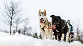 Cierre para arriba de personas del perro de trineo en la acción, dirigiendo hacia el camer Imágenes de archivo libres de regalías