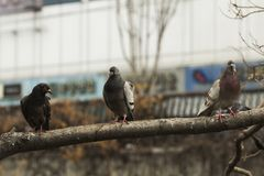 Cierre para arriba de tres palomas que se colocan en una rama de árbol en Cheonggyecheon, Seúl, mirando fijamente el fotógrafo foto de archivo libre de regalías