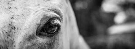 Cierre para arriba de un ojo del ` s del caballo Fotos de archivo