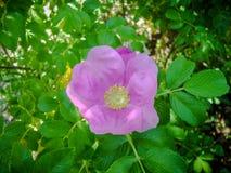 Cierre para arriba de una flor color de rosa del perro en un arbusto fotografía de archivo libre de regalías