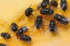 Cierre para arriba de una mosca sucia de la casa en una bifurcación cubierta en comida amarilla Foto de archivo libre de regalías
