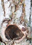 Cierre para arriba del árbol de abedul con la corteza de la peladura Imagenes de archivo