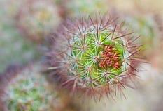 Cierre para arriba del cactus Foto de archivo