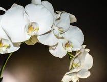 Cierre para arriba del espray blanco de la orquídea de flores en un fondo negro sólido con la garganta amarilla y púrpura Imagen de archivo