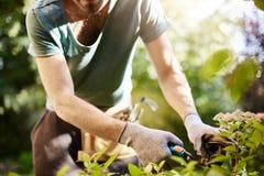 Cierre para arriba del hombre fuerte en los guantes que cortan las hojas en su jardín Mañana del verano del gasto del granjero qu imagen de archivo libre de regalías