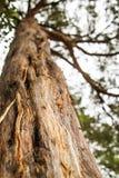 Cierre para arriba del tronco de árbol con ángulo de cámara hacia el top del árbol Foto de archivo libre de regalías