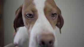 Cierre para arriba el bozal del perro triste del indicador con las manchas marrones que miran en la cámara Mano del perro adorabl almacen de video