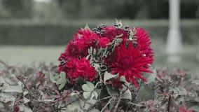 Cierre para arriba El ramo de flores rojas está en los arbustos almacen de video
