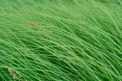 Cierre para arriba en fondo fresco de la textura de la hierba verde Foto de archivo libre de regalías
