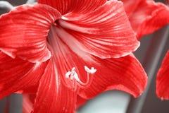 Cierre para arriba en Gazer rojo de la estrella de LÃrio de las flores portuguesas de los jardines Foto de archivo