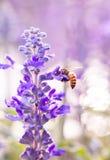 Cierre para arriba - la abeja en salvia azul florece en el jardín Imagen de archivo