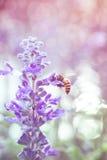 Cierre para arriba - la abeja en salvia azul florece en el jardín Imágenes de archivo libres de regalías
