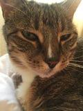Cierre para arriba   Tabby Cat Resting masculina diabética mayor imagen de archivo