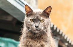 Cierre peligroso del retrato de la mirada del gato asustadizo para arriba imágenes de archivo libres de regalías
