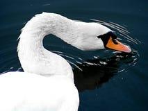 Cierre plumoso del cuello del cisne encima de 2 foto de archivo