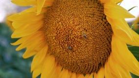 Cierre pollenizing de la flor del sol de la abeja encima de la cámara lenta