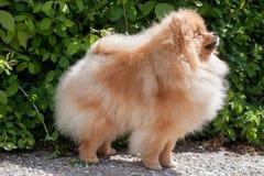 Cierre pomeranian lindo del perro de Pomerania para arriba Perro de Pomerania o zwergspitz de Deutscher Fotos de archivo libres de regalías