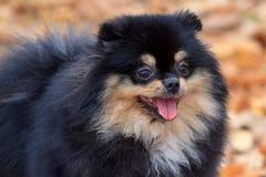 Cierre pomeranian negro del perro de Pomerania para arriba Imágenes de archivo libres de regalías