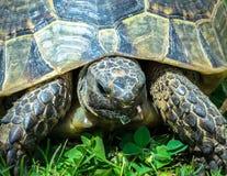 Cierre principal de la tortuga para arriba Fotografía de archivo libre de regalías
