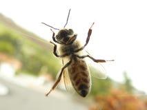 Cierre raro de la ventana de la abeja para arriba Imagen de archivo libre de regalías