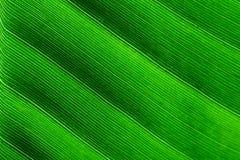 Cierre retroiluminado de la macro encima de los detalles del fondo ondulado de la textura de la estructura de la hoja fresca del  Foto de archivo libre de regalías