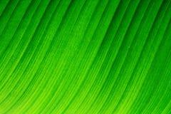 Cierre retroiluminado de la macro encima de los detalles de la estructura ondulada de la hoja fresca del plátano con las venas y  Fotografía de archivo libre de regalías