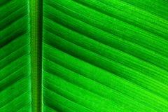 Cierre retroiluminado encima de los detalles de la estructura fresca de la hoja del plátano como fondo natural del verde del eco  Fotos de archivo