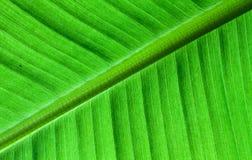 Cierre retroiluminado encima de los detalles de la estructura fresca de la hoja del plátano como fondo natural del verde de la te Foto de archivo