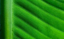 Cierre retroiluminado encima de los detalles de la estructura fresca de la hoja del plátano con el perpendicular del nervio centr Fotos de archivo libres de regalías
